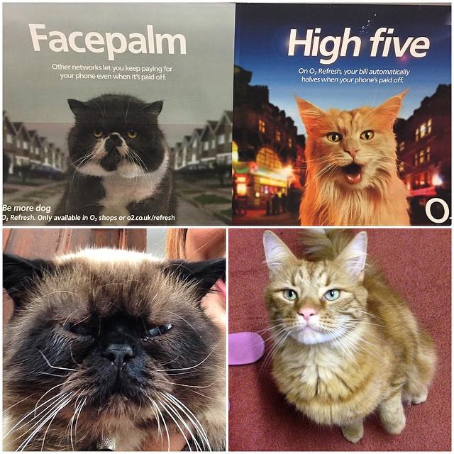 Hmm. #sonushaikh #shorthair #exoticshorthair #cats #catsofinstagram #catsofig #instadaily #igdaily #pets #catstagram #meow #purr #purrfect #cattitude #catoftheday #chocolatecolourpoint